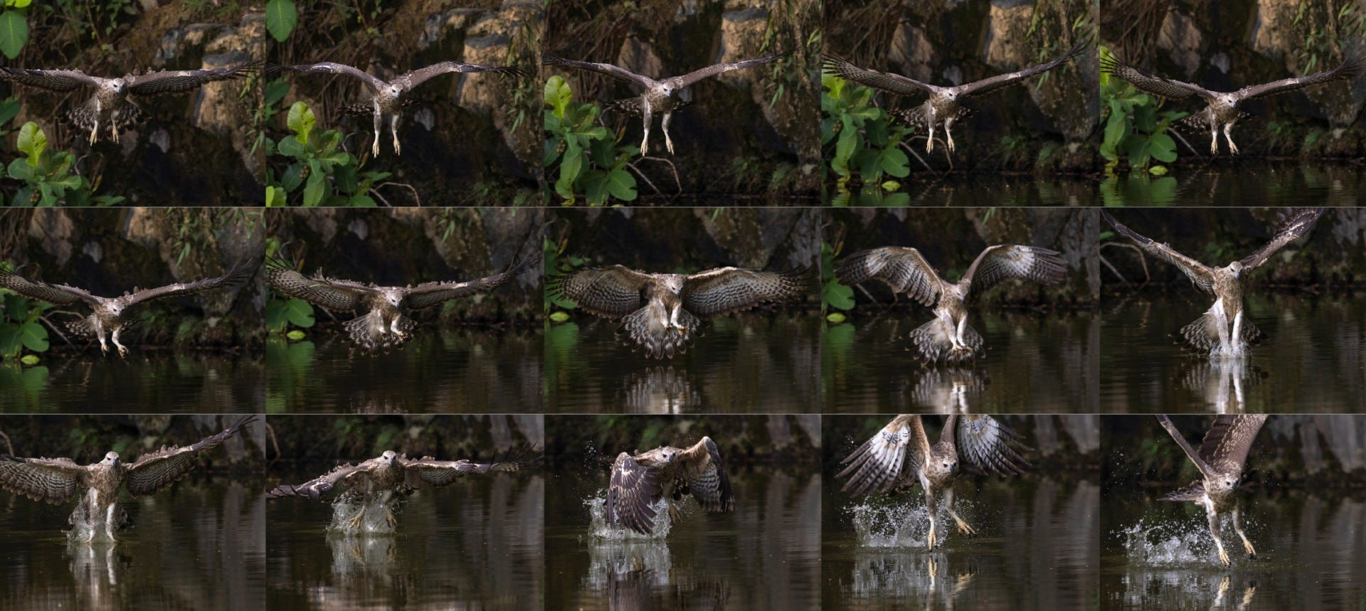 Juvenile Grey-headed Fish Eagle shot by Canon Photographer William Tan using Canon EOS R6