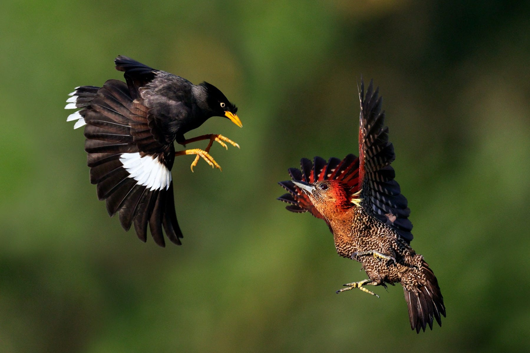 Birds in aerial fight shot by Canon Photographer William Tan using Canon EOS R6