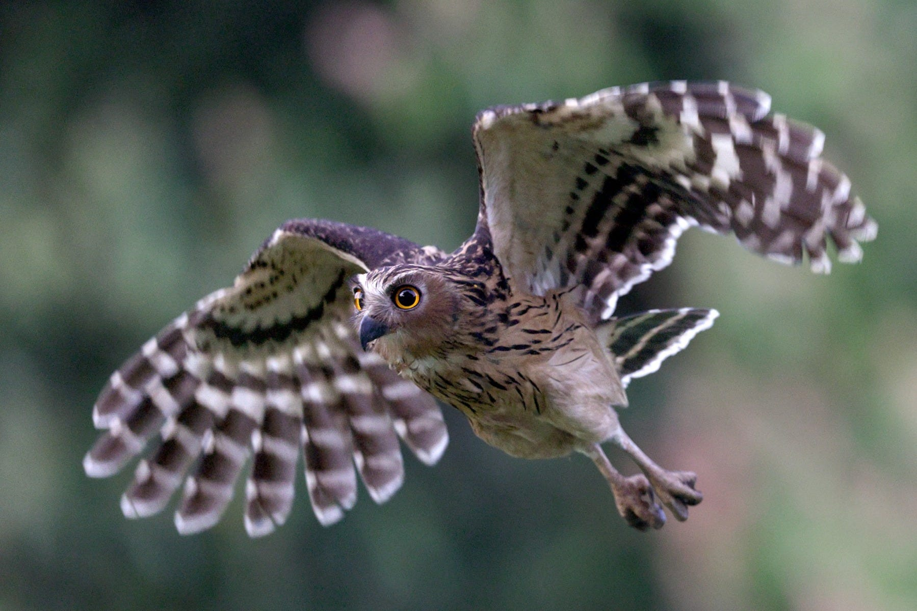 Buffy Fish Owl in flight shot by Canon Photographer William Tan using Canon EOS R6