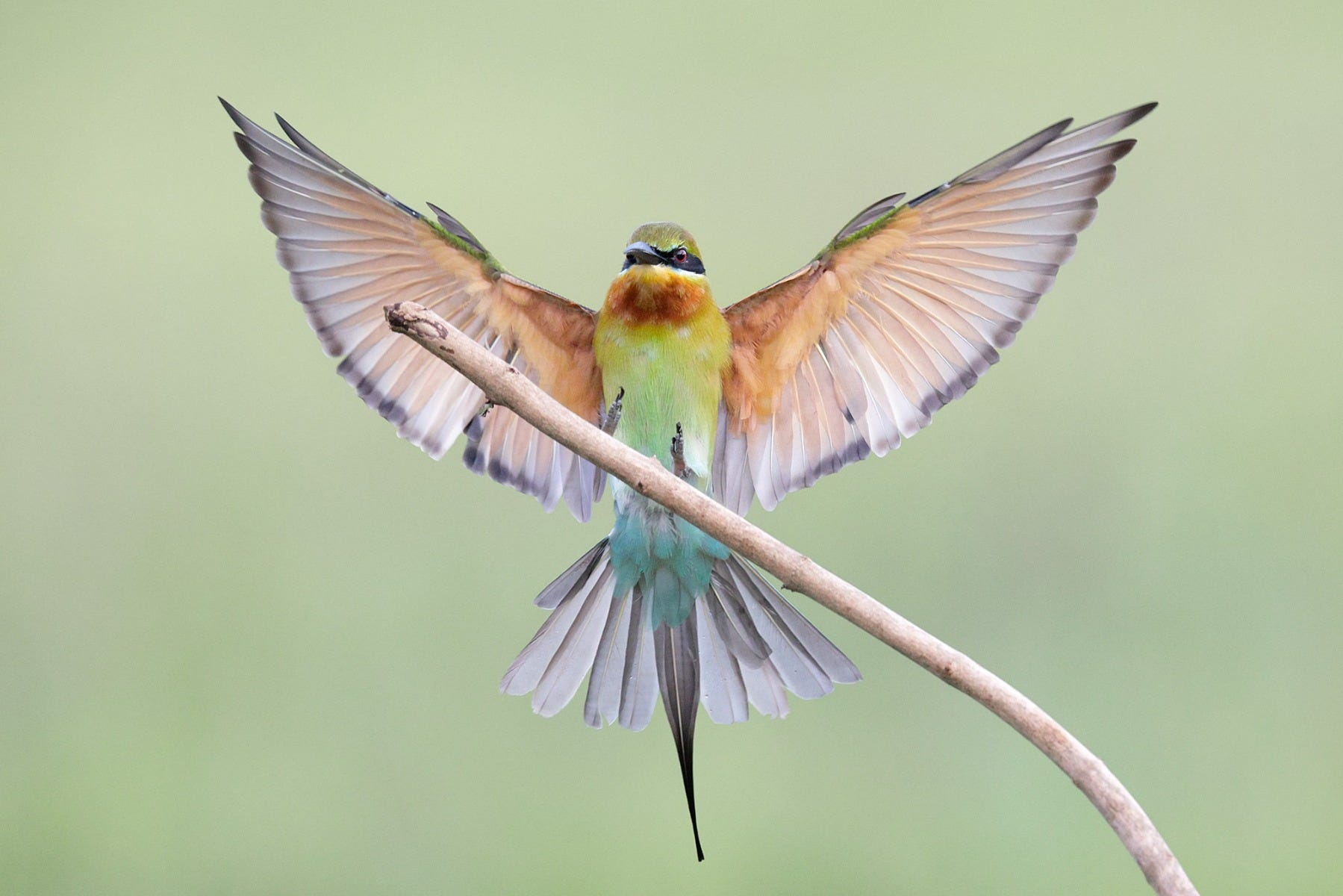 Blue-tailed bee-eater shot by Canon Photographer William Tan using Canon EOS R6