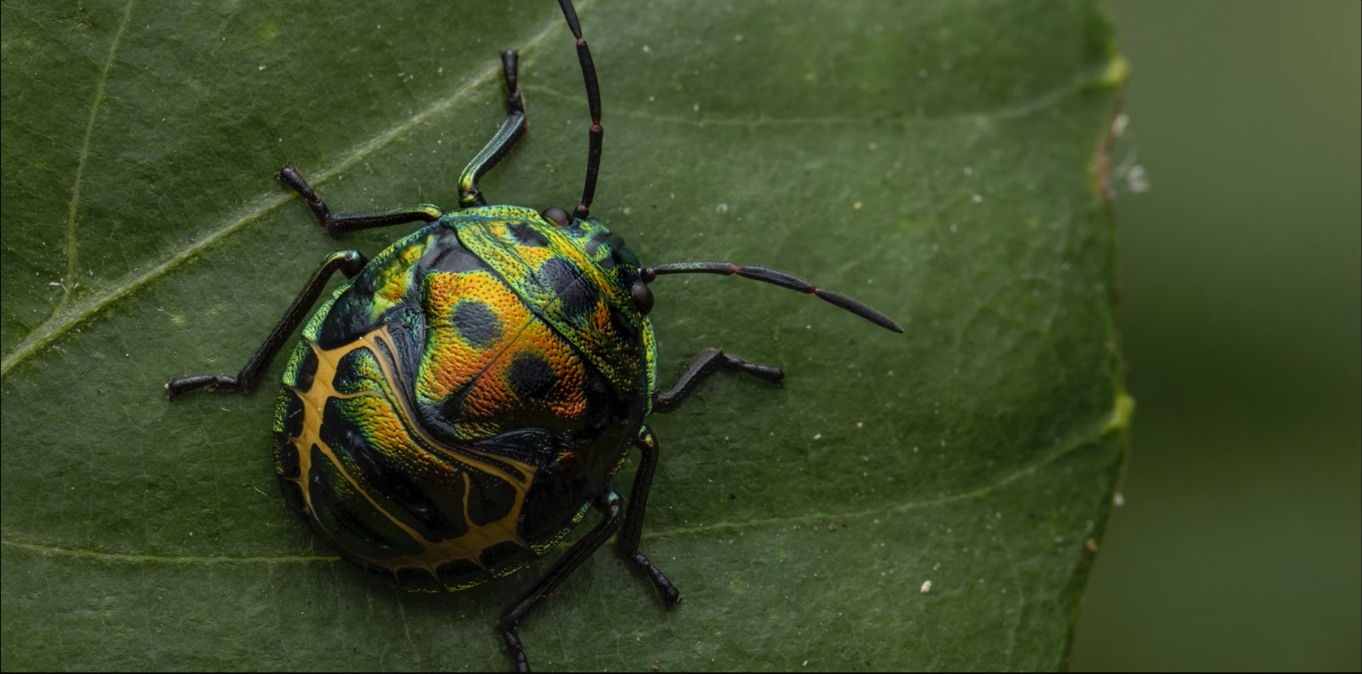 Small green beetle with orange and yellow markings