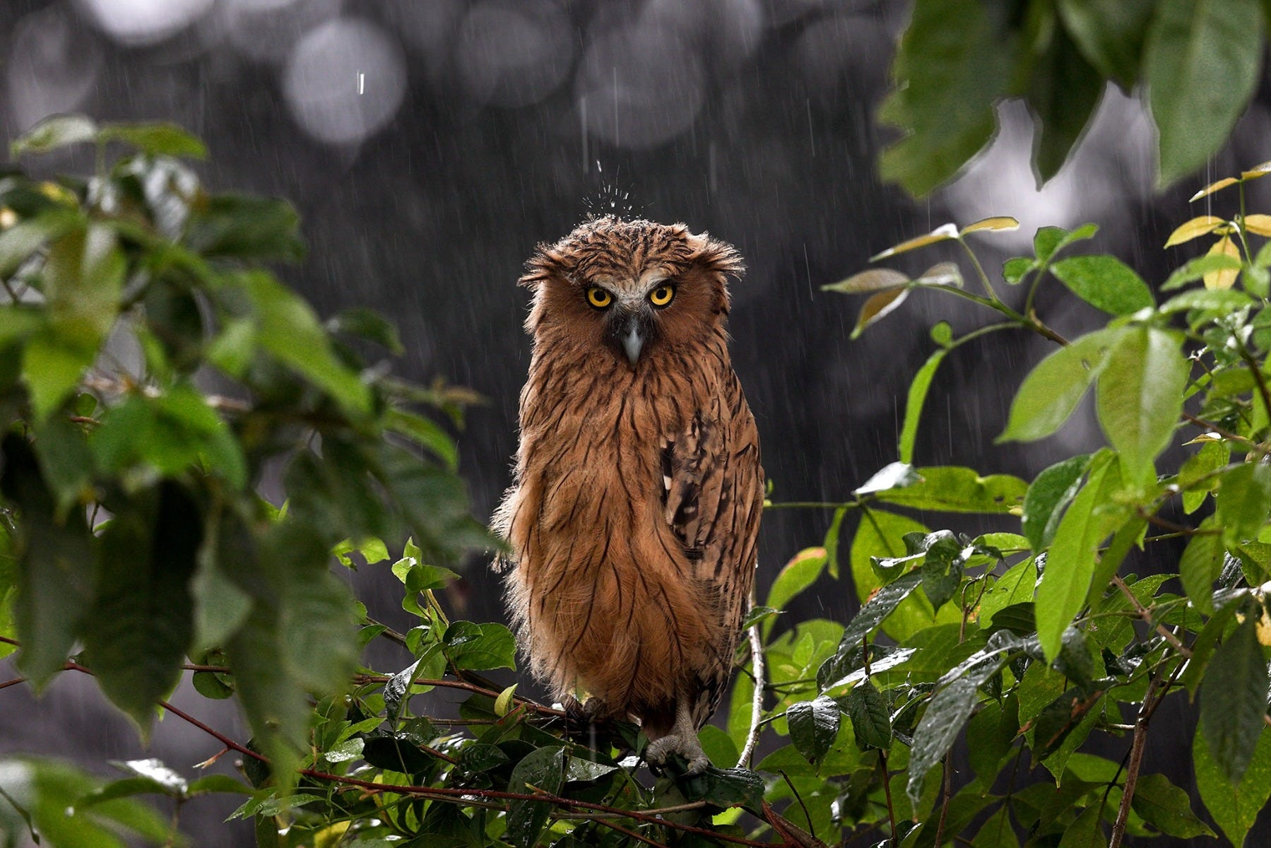 Buffy Fish Owl shot by Canon Photographer William Tan using Canon EOS R6